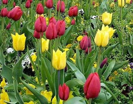 Tulipani: li pianti in autunno, sbocciano in primavera