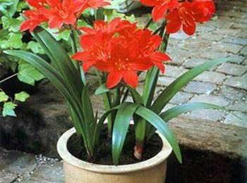 Come curare le piante: la Vallota