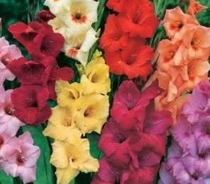 Come curare le piante: i gladioli