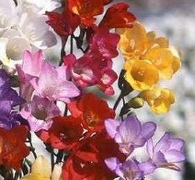 Come curare le piante: le Fresie