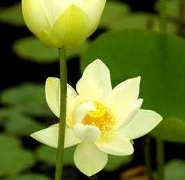 Come curare le piante: i fiori di Loto