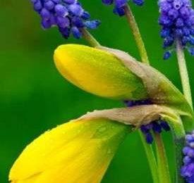 Significato dei fiori: Giacinti e Narcisi