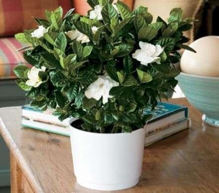 Come Curare Le Piante: La Gardenia