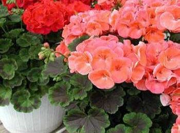 Significato dei fiori: i Gerani