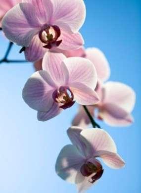 Significato dei fiori: le Orchidee