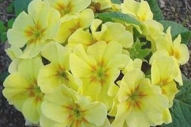 Significato dei fiori: le Primule