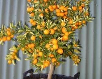 Come curare le piante: gli agrumi in vaso