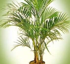 Come curare le piante: la Kenzia