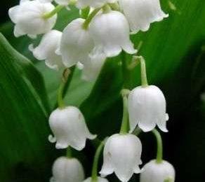 Come curare le piante: i Mughetti