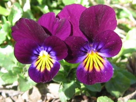 significato dei colori viola