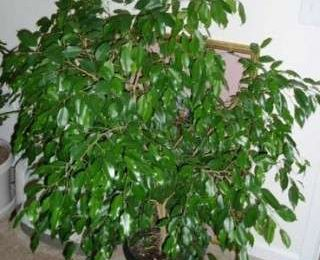 Come curare le piante: il Ficus Benjamin