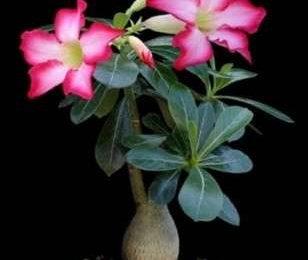 Come curare le piante: l'Adenium