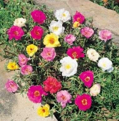 Come curare le piante grasse: la Portulaca