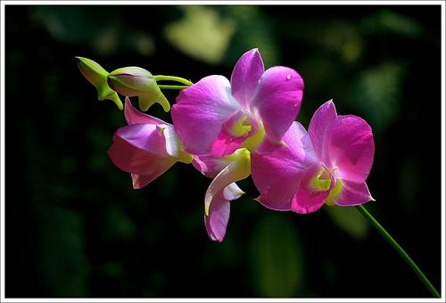 Fiori Festa della Mamma orchidea