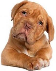 dog dogue de bordeaux puppy 410x290