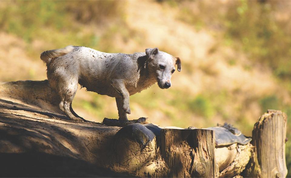 Veterinario salva un cane a un passo dalla morte, era ricoperto da 100.000 pulci