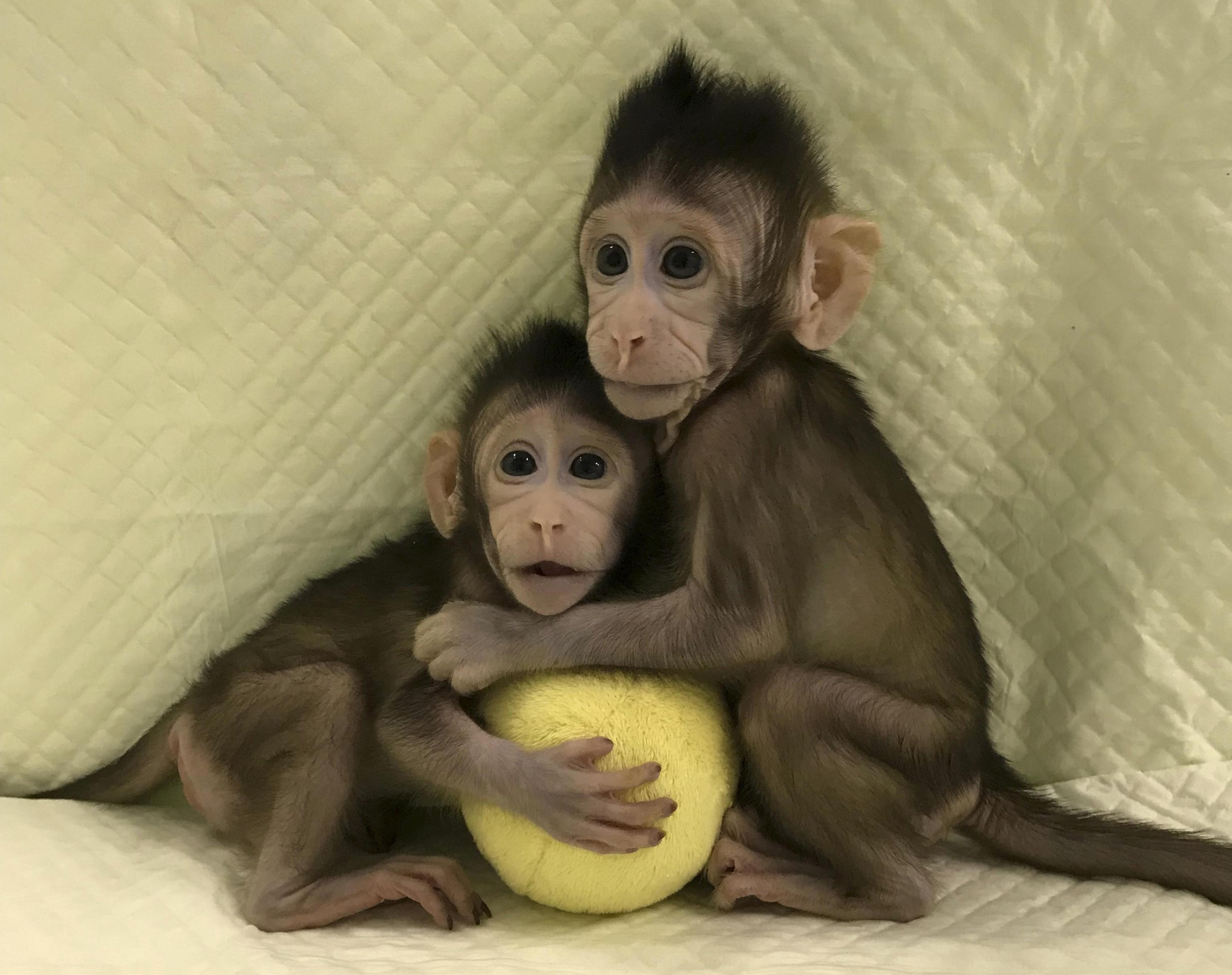 Cina, clonate per la prima volta due scimmie con il metodo Dolly