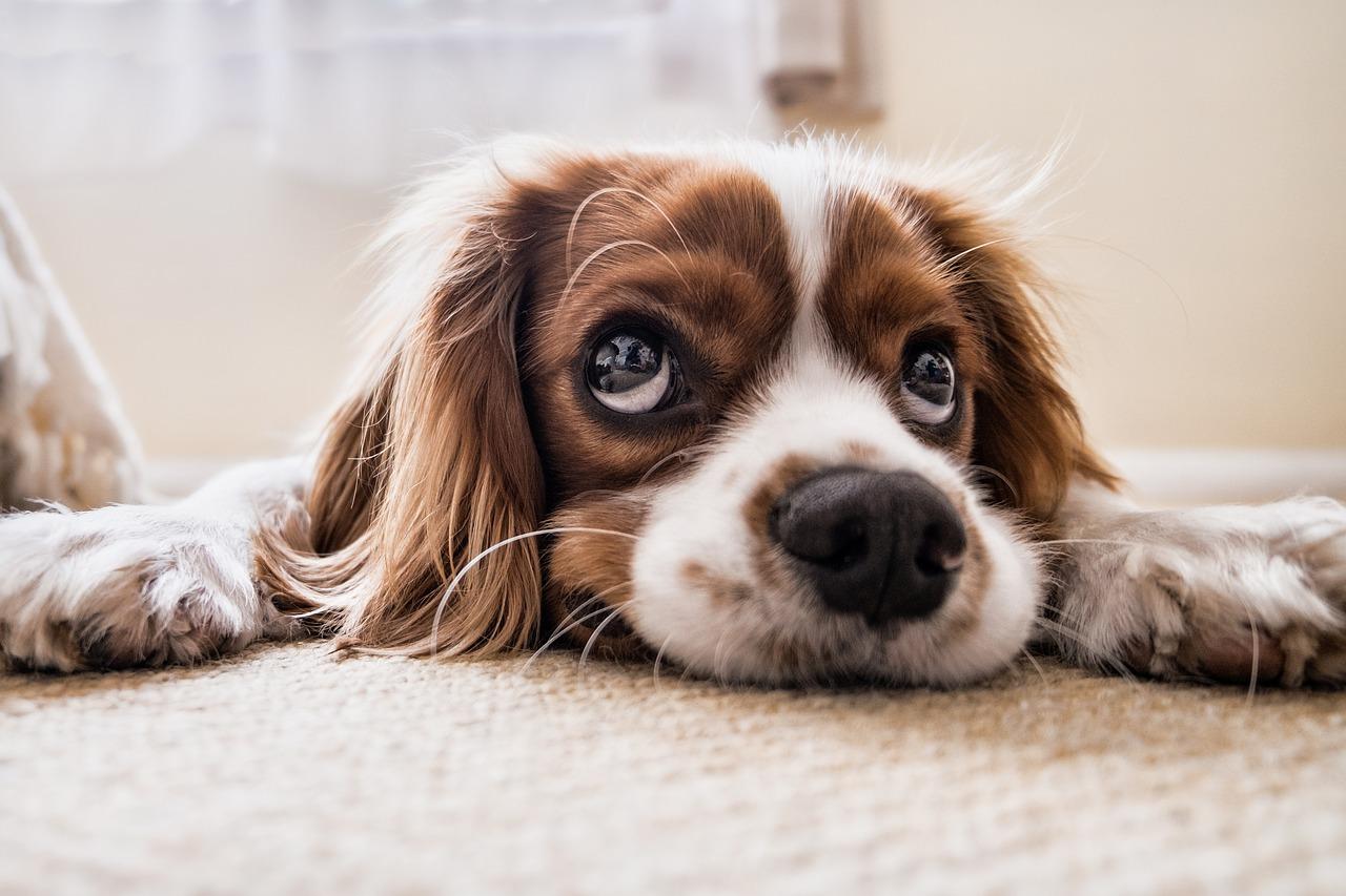 Cane scopre un tumore alla padrona annusandole il naso