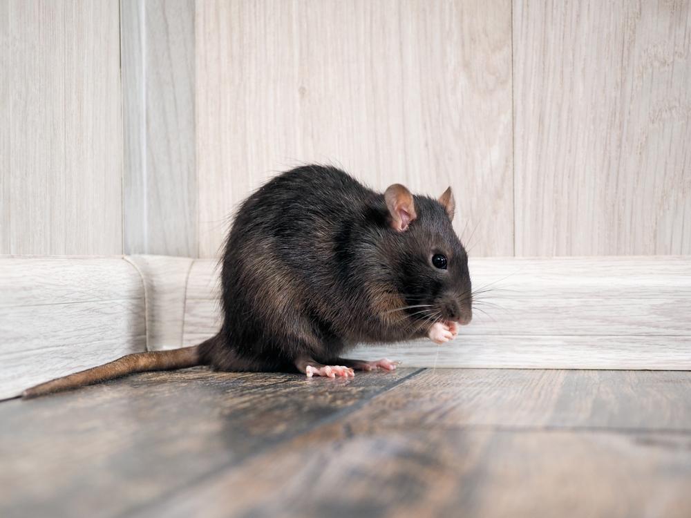 Battipaglia: neonata morsa da un topo finisce in ospedale
