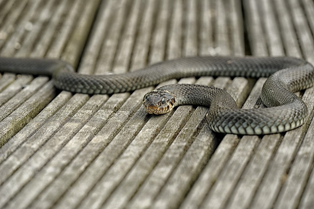 Mamma morsa nel sonno da un serpente allatta la figlia: muoiono entrambi avvelenati