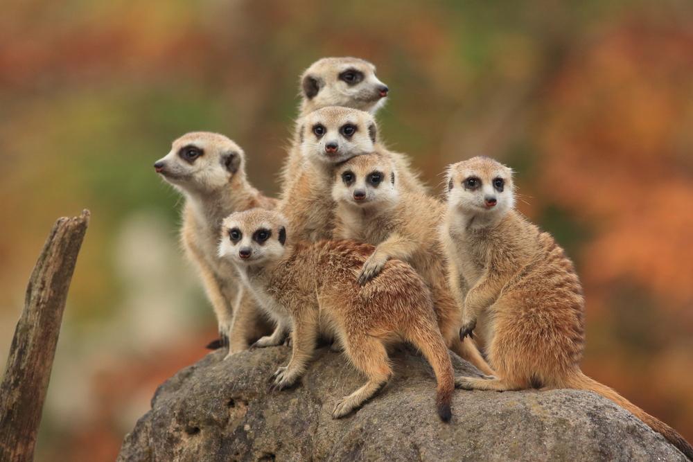 Bambino uccide il suricato che lo morde allo zoo: minacce di morte su Facebook