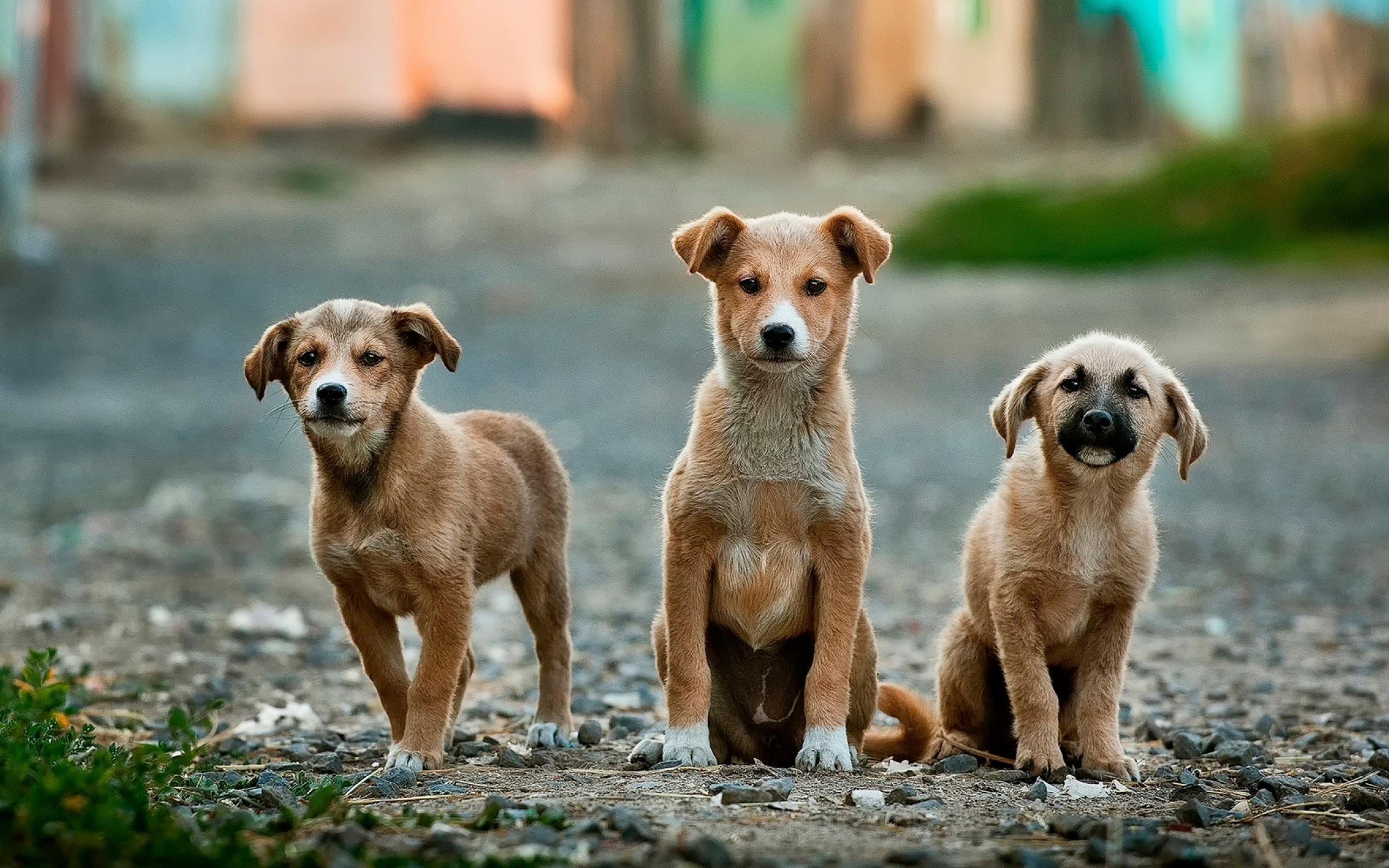 Veterinario accusato di contrabbandare l'eroina nella pancia di 7 cuccioli di cane