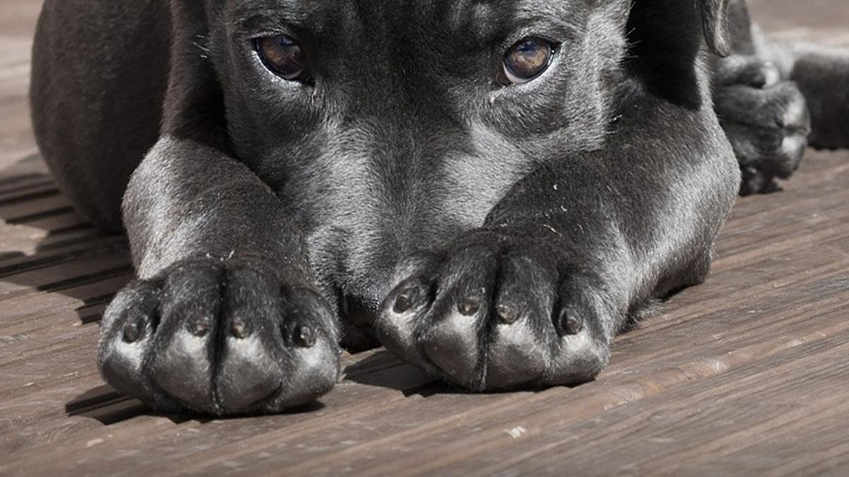 Il cane Peppino ha un nuovo naso: operato con successo dopo il ferimento con un petardo