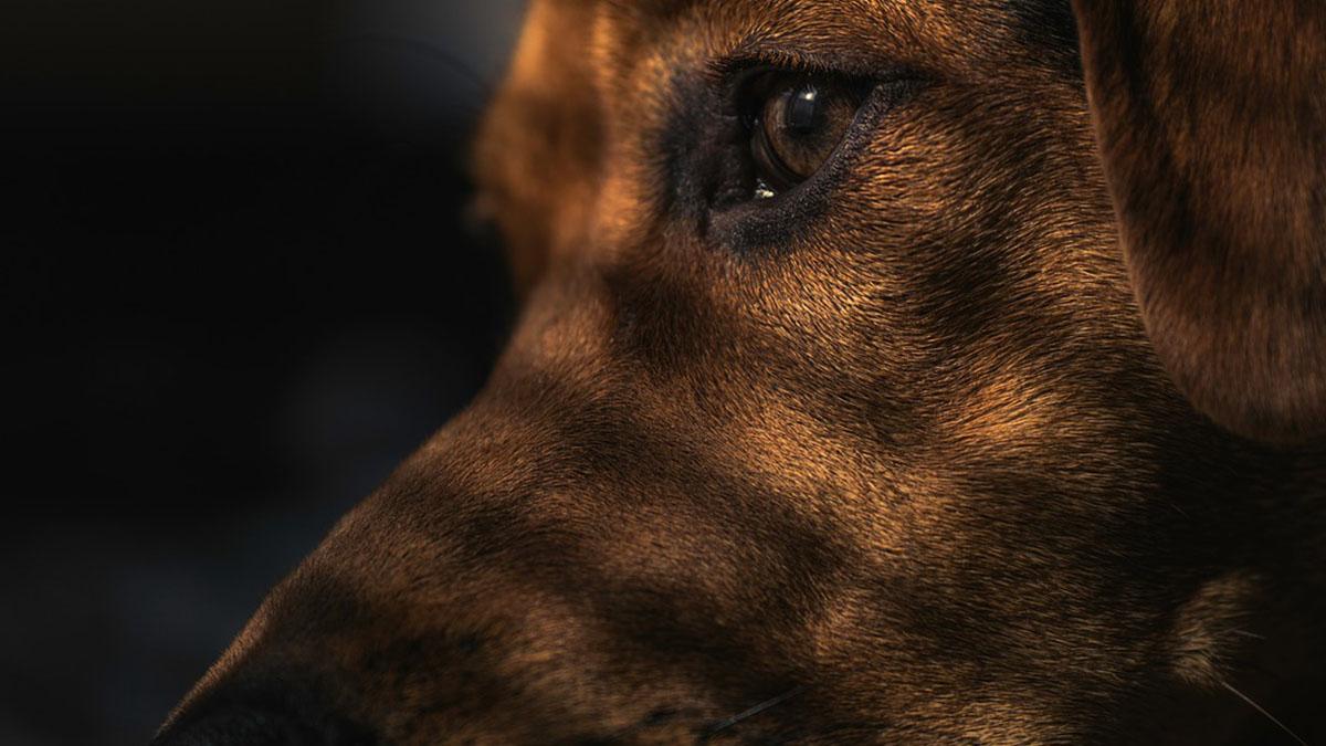 Cani imbottiti di eroina per passare la frontiera: veterinario condannato