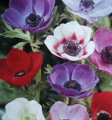 Significato dei fiori: gli Anemoni