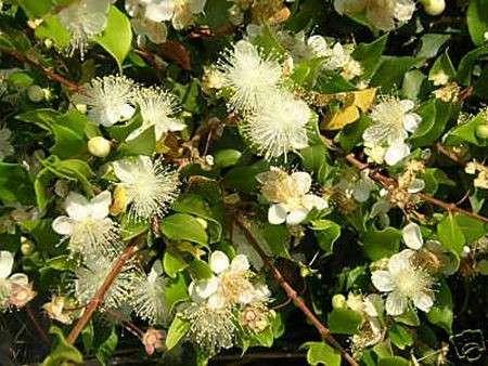 Significato dei fiori: il Mirto