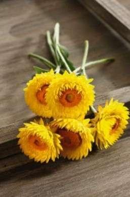 fiori elicriso