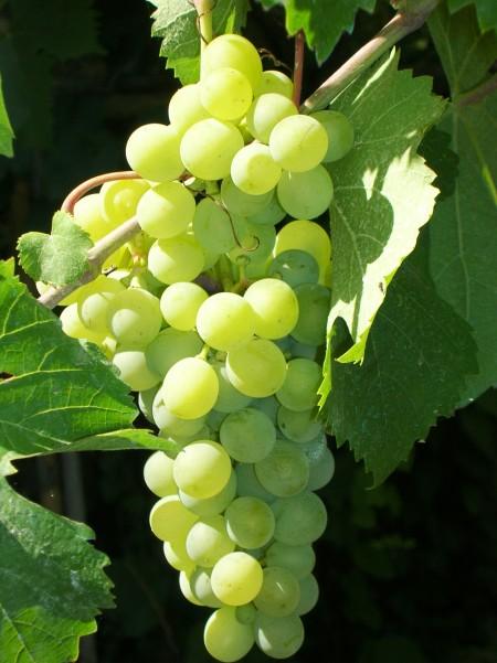 La dieta dell'uva per preparasi all'autunno