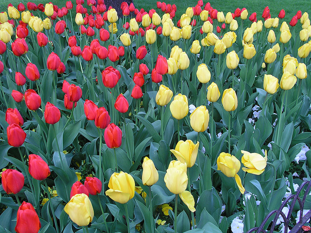 Ricette con i fiori, una macedonia di tulipani come dessert