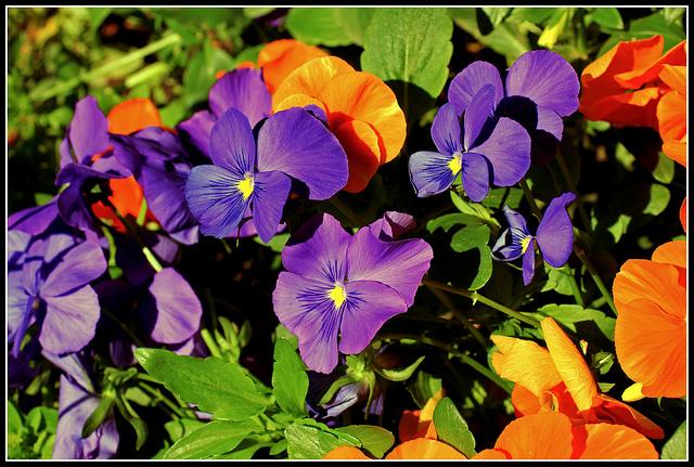 Ricette con i fiori, il risotto alle viole