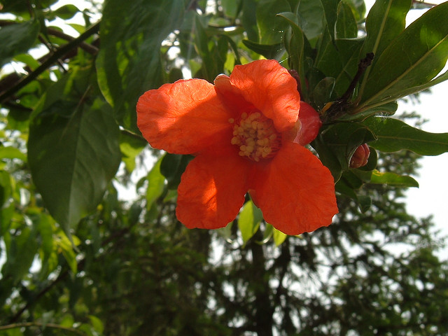 Ricette con i fiori, il dolce ai fiori di melograno