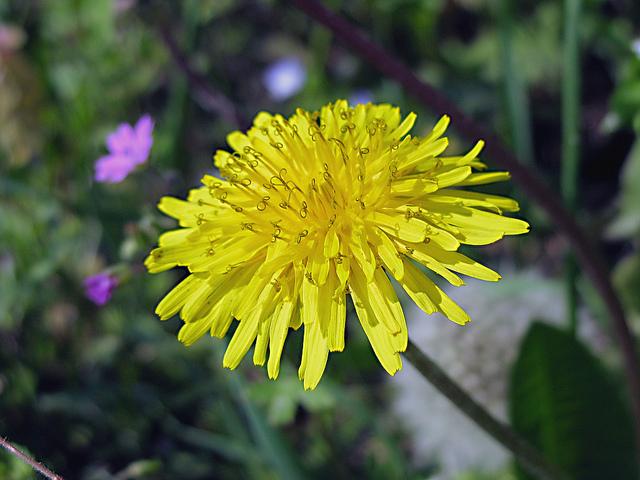 Ricette con i fiori, la frittata ai fiori di tarassaco (o denti di leone)