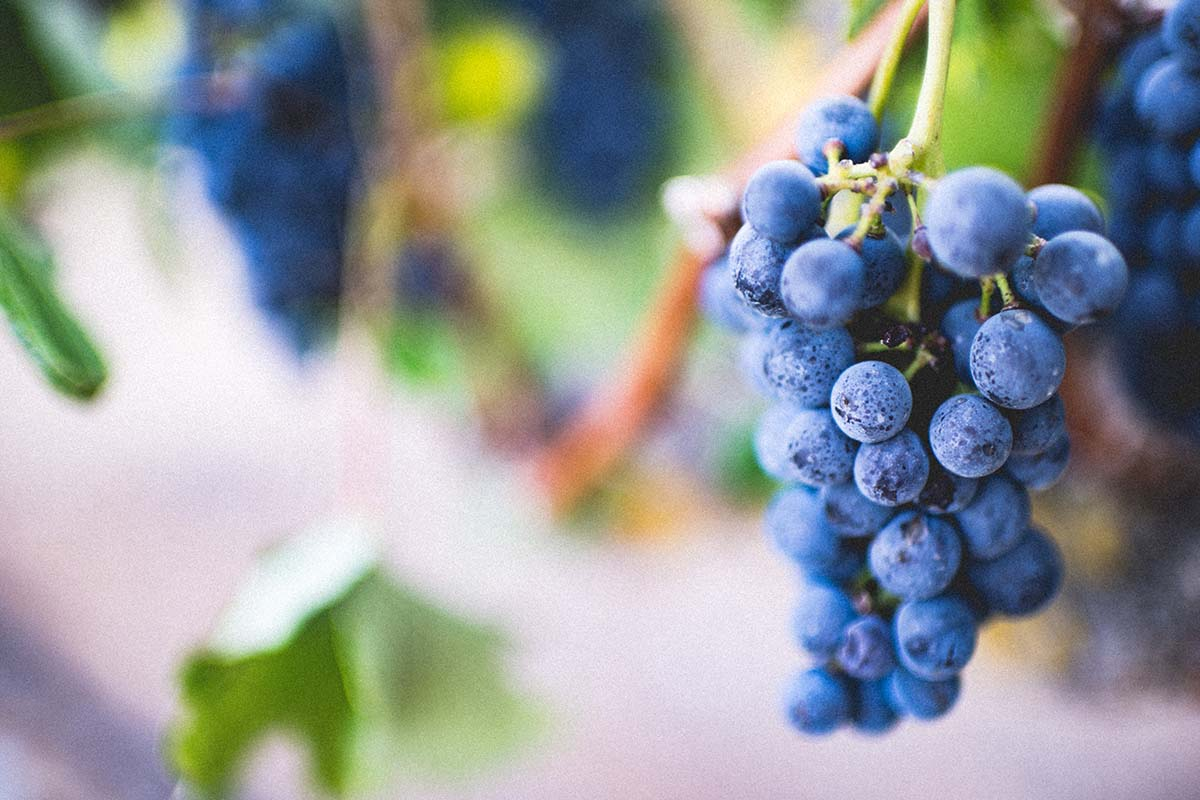 Davvero possiamo perdere peso con la buccia dell'uva? Sì, grazie al Resveratrolo