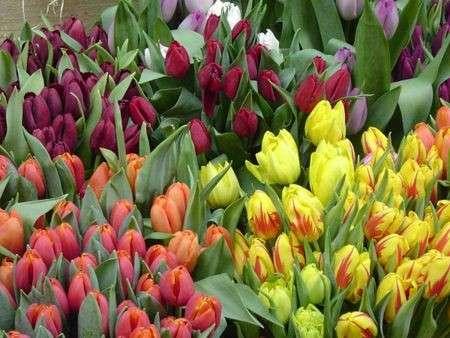 tulipani recisi