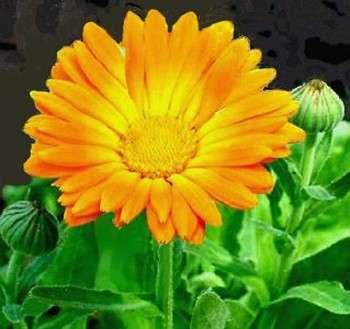 Come curare una pianta: la calendula