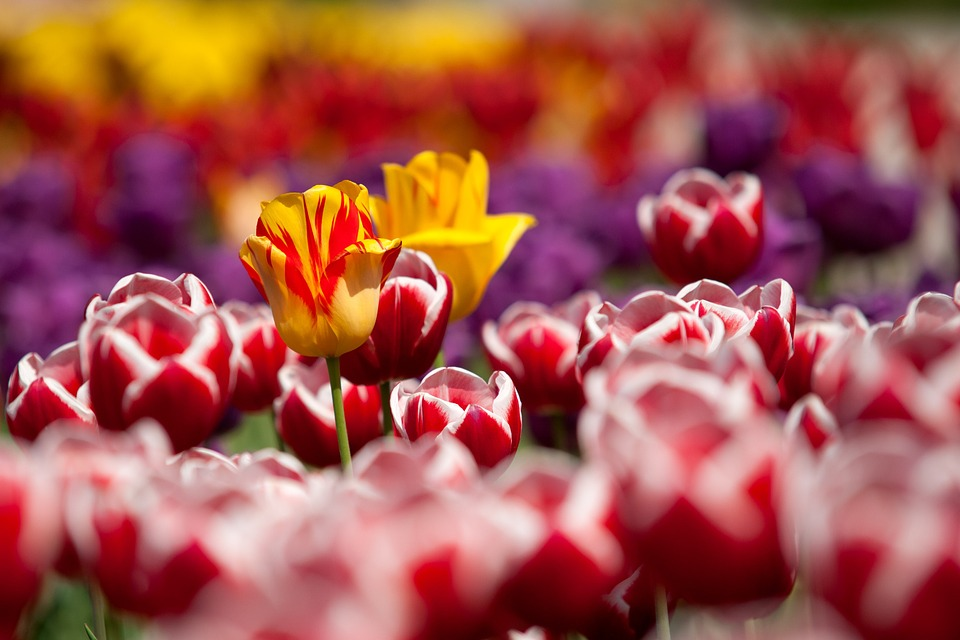 Tulipani: è tempo di piantare i bulbi