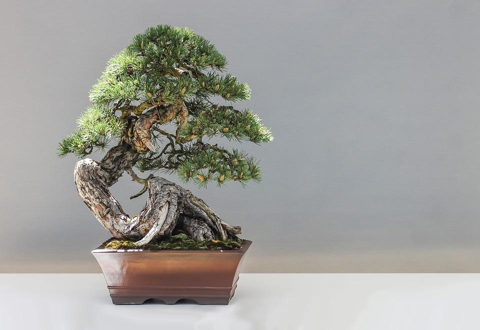 Come curare le piante: i bonsai
