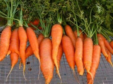 Vitamine, in arrivo la super-carota