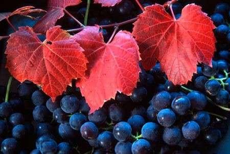 Erboristeria: le proprietà delle foglie di vite rossa