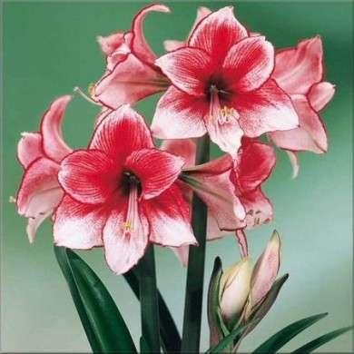 amaryllis fiore striato