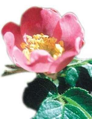 Olio di Rosa Mosqueta: un vero nutrimento per la pelle