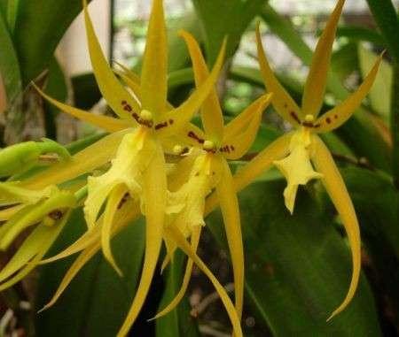 Come curare le piante: l'Orchidea Brassia