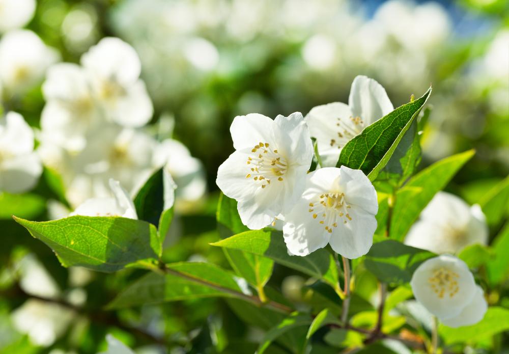 Giardinaggio: il gelsomino pourfemme