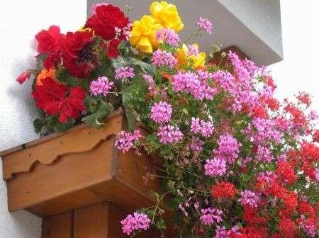 Giardinaggio: piantare i gerani