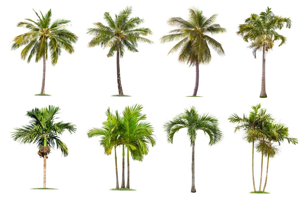 Giardinaggio: come coltivare le palme