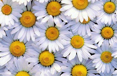 Pasta di mais fiori: margherite